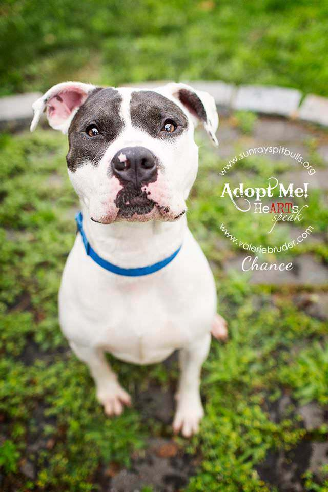 pit bull adoptable Valerie Bruder HeARTs Speak Thanksgiving