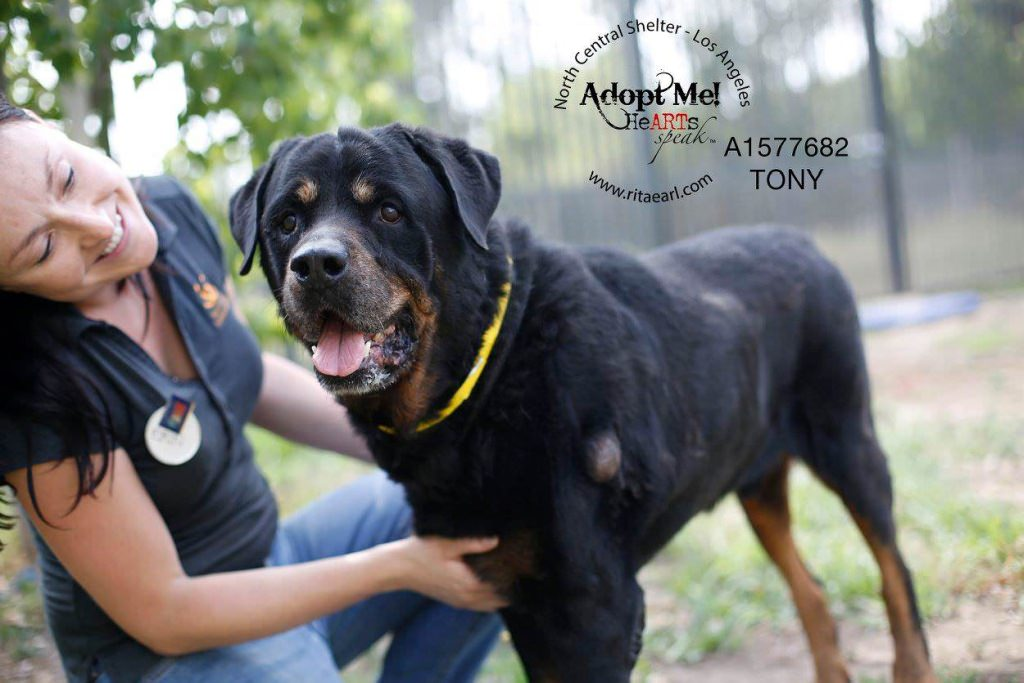 Rottweiler HeARTs Speak Rita Earl Photography adoptable dog California