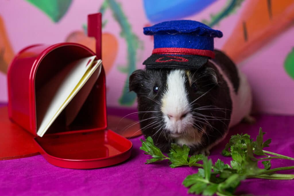 Photo JoeyPhoenix 2 1024x683 - 7 Tricks for Photographing Guinea Pigs