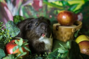Photo JoeyPhoenix 4 300x200 - 7 Tricks for Photographing Guinea Pigs