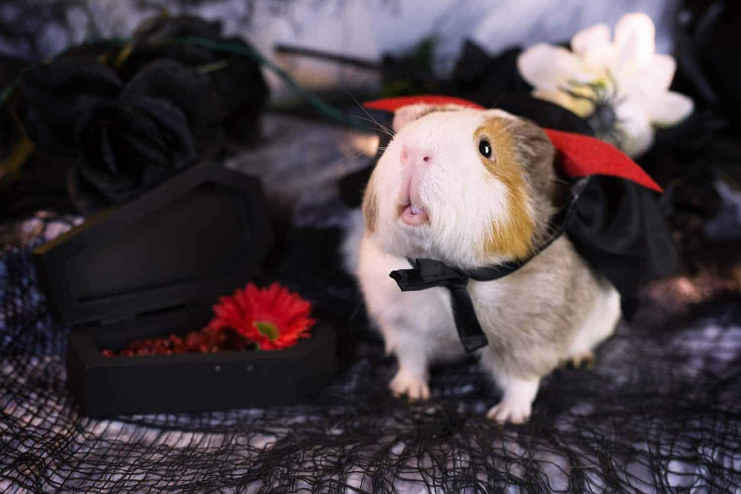 7 Tricks for Photographing Guinea Pigs