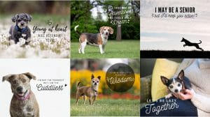 Grey Muzzle Sample Images 300x168 - Canva Templates to Promote Senior Pups!