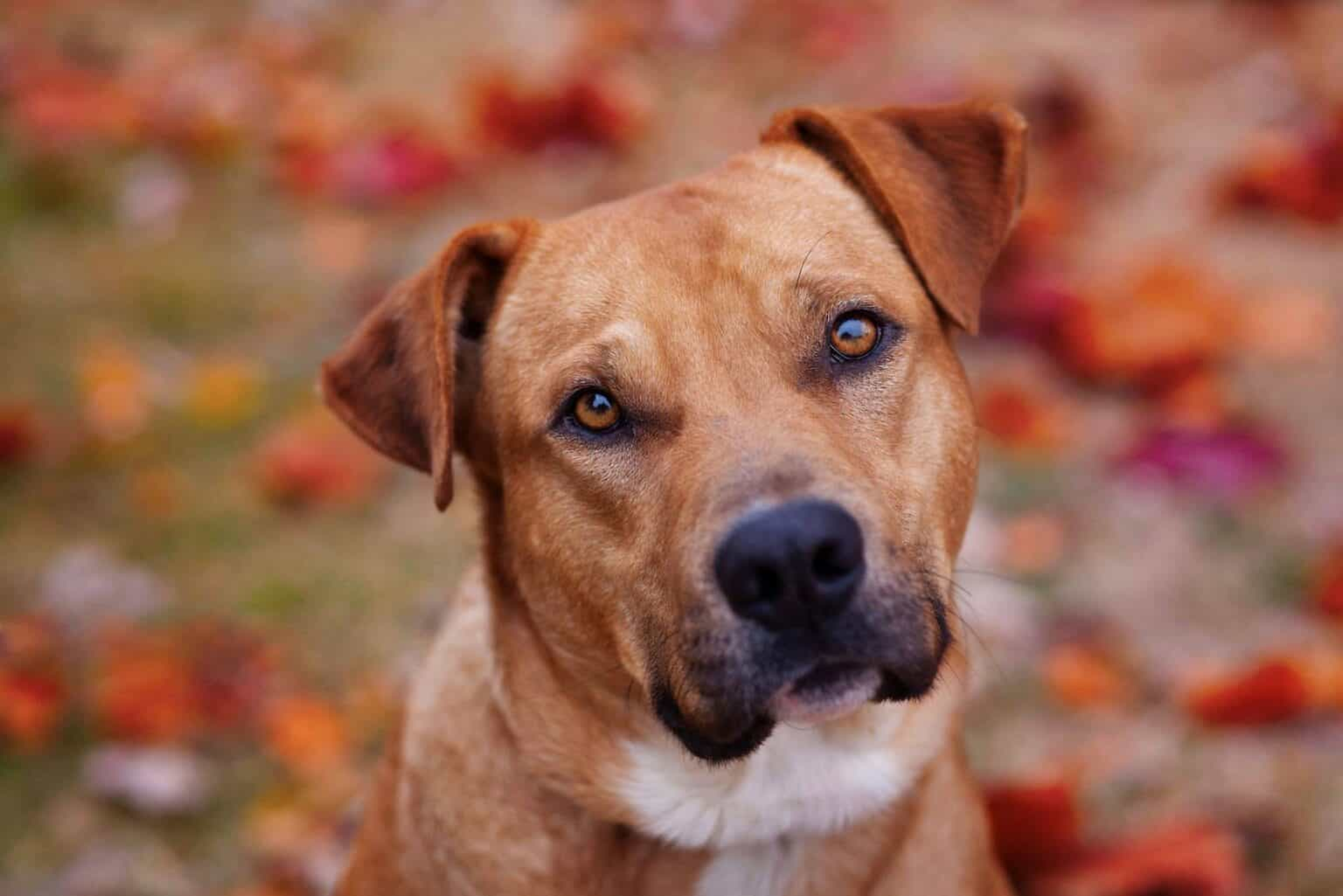 tan pit bull type dog looks into camera with beautiful fall leaves behind him
