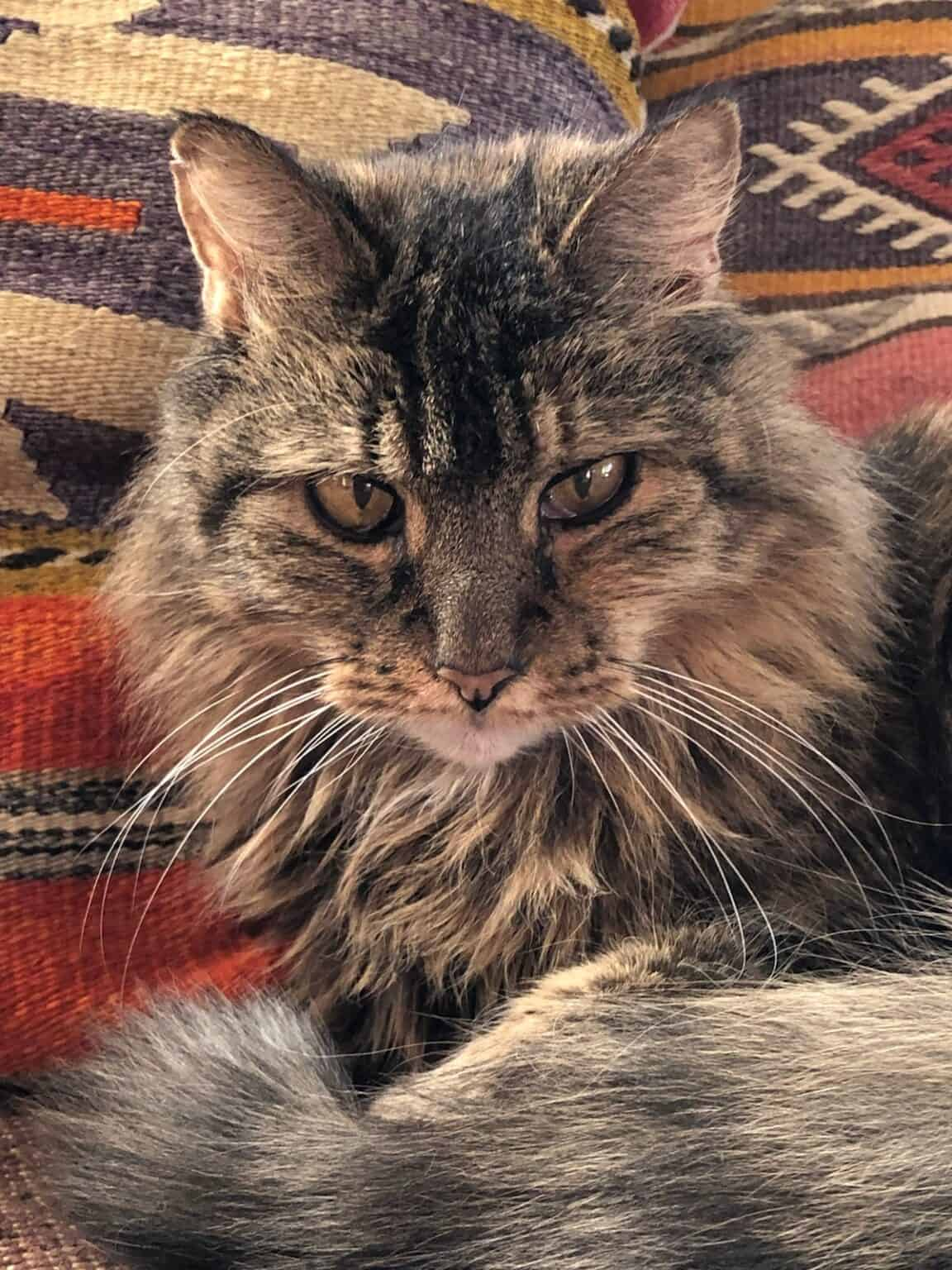 long haired brown tabby cat, close up on her face