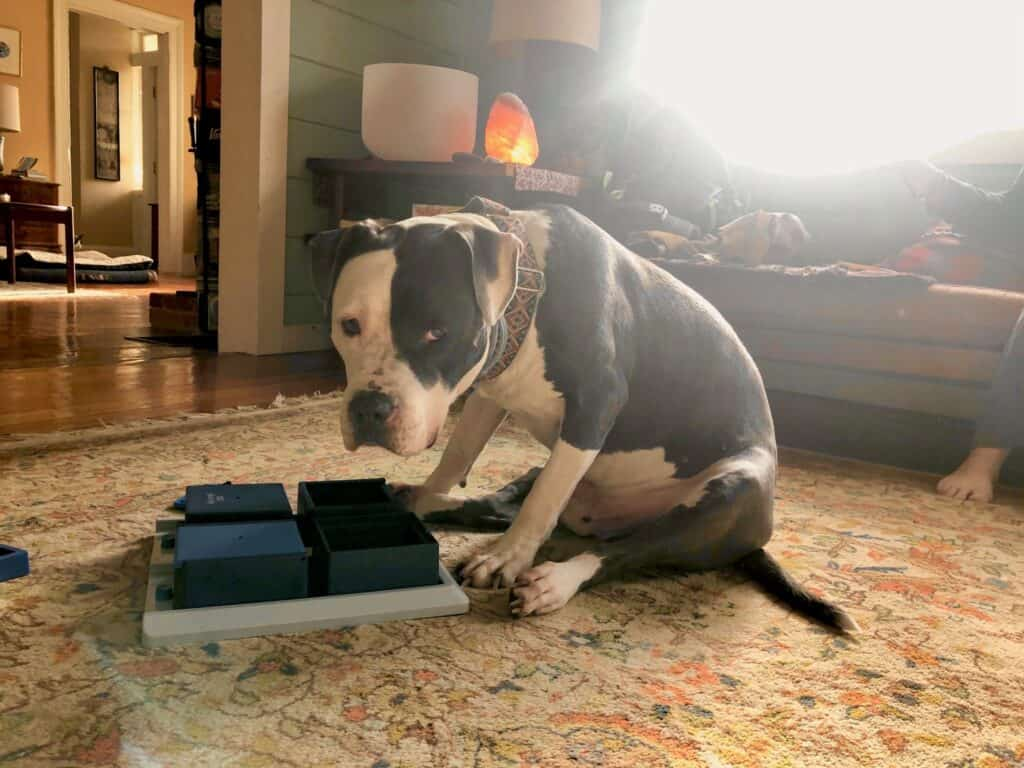 Grey and white pit bulls dog leans over his puzzle toy and looks into the camera