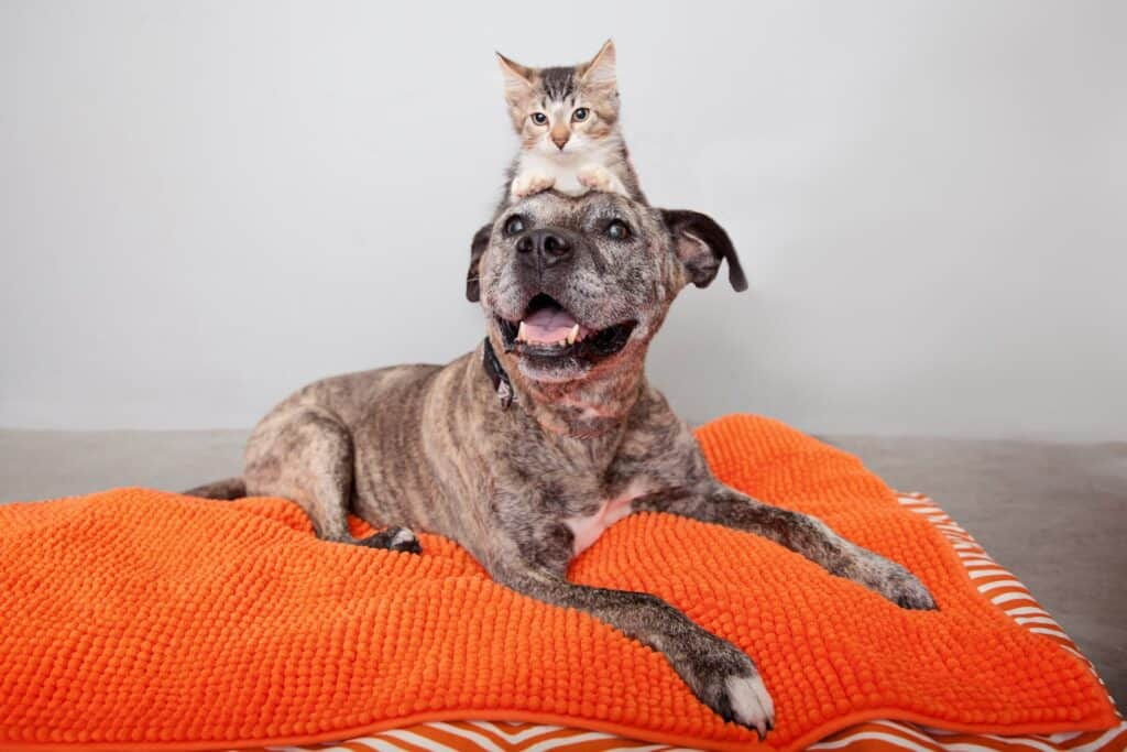 Brindle pit bull dog wiht cat on her head lays on a puffy orange bed and smiles into camera