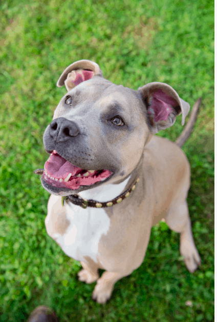 Grey and tan pit bull dog with white chest looks up with mouth open and tongue wagging, photo taken from above